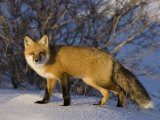 Redfox (Vulpes Vulpes)  Churchill  Hudson Bay  Manitoba  Canada