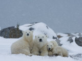 Polar Bears (Ursus Maritimus)  Churchill  Hudson Bay  Manitoba  Canada