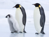 Emperor Penguins (Aptenodytes Forsteri) and Chick  Snow Hill Island  Weddell Sea  Antarctica