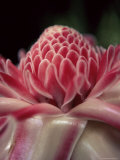Torch Ginger Flower at the Balata Botanical Gardens  Near Fort De France  Martinique  West Indies