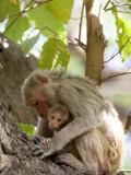 Rhesus Macaque Monkey (Macaca Mulatta)  Bandhavgarh National Park  Madhya Pradesh State  India