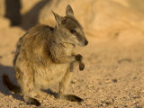 Black-Footed Rock Wallaby (Petrogale Lateralis)  Magnetic Island  Queensland  Australia