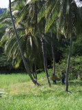 Man Climbing a Coconut Tree  Tobago  West Indies  Caribbean  Central America