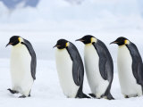 Emperor Penguins (Aptenodytes Forsteri)  Snow Hill Island  Weddell Sea  Antarctica  Polar Regions