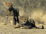 Cheetah Cubs  Acinonyx Jubatus  Duesternbrook Private Game Reserve  Windhoek  Namibia  Africa
