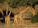 Giraffe Family  (Giraffa Camelopardalis)  Kaokoveld  Namibia  Africa