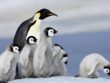 Emperor Penguin (Aptenodytes Forsteri) and Chicks  Snow Hill Island  Weddell Sea  Antarctica