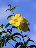 Yellow Alamanda Flowers  Martinique  Lesser Antilles  West Indies  Caribbean  Central America