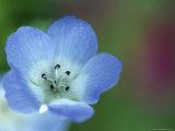 Baby Blue Eyes  Nemophila Phacelioides  Bielefield  Germany