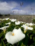 White Arum Lily  Araceae  Great Ocean Road  Victoria  Australia