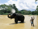Elephant Bathing in the River after a Working Day  Kandy Area  Sri Lanka