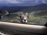 Big Horn Sheep Looking Through Car Window  Mt Evans  Colorado  USA