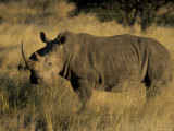 White Rhinoceros  Ceratotherium Simum  Namibia  Africa