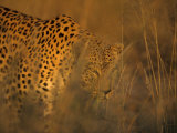 Leopard  Panthera Pardus  Duesternbrook Private Game Reserve  Windhoek  Namibia  Africa