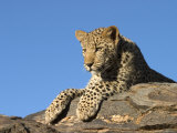 Young Leopard (Panthera Pardus)  Namibia  Africa
