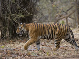 Female Indian Tiger  Bandhavgarh National Park  Madhya Pradesh State  India