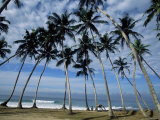 Palm Trees Between Unawatuna and Weligama  Sri Lanka