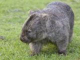 Wombat (Vombatus Ursinus)  Wilsons Promontory National Park  Victoria  Australia