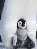 Emperor Penguin Chick (Aptenodytes Forsteri)  Snow Hill Island  Weddell Sea  Antarctica
