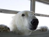 Polar Bear (Ursus Maritimus)  Churchill  Hudson Bay  Manitoba  Canada