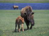 Bison and Calf  Yellowstone National Park  Wyoming  USA