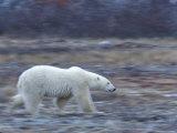 Polar Bear  Ursus Maritimus  Churchill  Manitoba  Canada