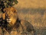 Lion  Panthera Leo  Chobe National Park  Savuti  Botswana  Africa