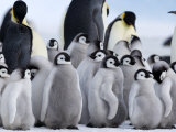 Colony of Emperor Penguins and Chicks  Snow Hill Island  Weddell Sea  Antarctica