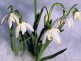 Snowdrops  Galanthus Nivalis  Bielefeld  Germany