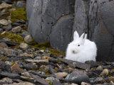 Snow Hare  Lepus Americanus  Churchill  Manitoba  Canada