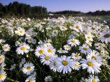 Daisy  Leucanthemum Vernale  Hiller Moor  Luebbecke  Germany
