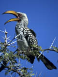 Yellow Billed Hornbill (Tockus Flavirostris)  Etosha National Park  Namibia  Africa