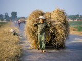 Man with Freshly Harvested Rice on Cart in the Ricefields of Bac Thai Province