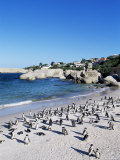 African Penguins at Boulder Beach in Simon&#39;s Town  Near Cape Town  South Africa  Africa