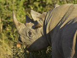 Black Rhinoceros or Hook-Lipped Rhinoceros Feeding  Masai Mara National Reserve  East Africa
