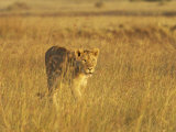 Lioness (Panthera Leo) Walking Through Tall Grass  Masai Mara National Reserve  Kenya