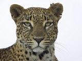 Leopard (Panthera Pardus)  Samburu Game Reserve  Kenya  East Africa  Africa