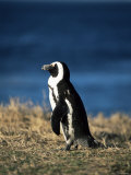 African Penguin at Boulder Beach in Simon's Town  Near Cape Town  South Africa  Africa