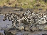 Common Zebra or Burchell's Zebra Crossing Mara River  Masai Mara National Reserve  Kenya  Africa
