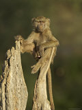 Young Male Olive Baboon Sitting Atop a Tree Trunk Looking at Camera  Samburu Game Reserve  Kenya