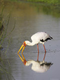 Yellow-Billed Stork (Mycteria Ibis) Fishing  with Reflection  Masai Mara National Reserve  Kenya