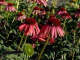 Echinacea  the Purple Coneflower  One of the Best Blood Purifiers