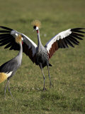 Grey Crowned Crane Dancing Next to Its Mate with Its Feet off the Ground and Wings Spread