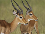 Two Male Impala with Bodies Facing Each Other  Serengeti National Park  East Africa