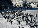 Penguins at Boulder Beach in Simon's Town  Near Cape Town  South Africa  Africa