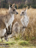 Eastern Grey Kangaroos  Kosciuszko National Park  New South Wales  Australia