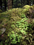 Shamrock Growing in an Ancient Oak Forest  County Kerry  Munster  Republic of Ireland