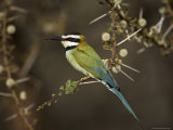 White-Throated Bee-Eater (Merops Albicollis) Perched in an Acacia Tree  Samburu Game Reserve  Kenya