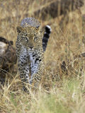 Leopard (Panthera Pardus) Approaching  Samburu Game Reserve  Kenya  East Africa  Africa