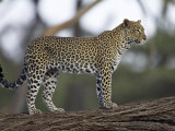 Leopard (Panthera Pardus) Standing on Log  Samburu Game Reserve  Kenya  East Africa  Africa